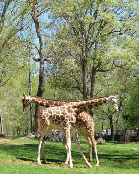 angela scott two giraffes
